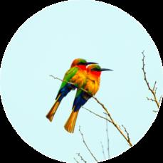 鮮やかな鳥のつがい